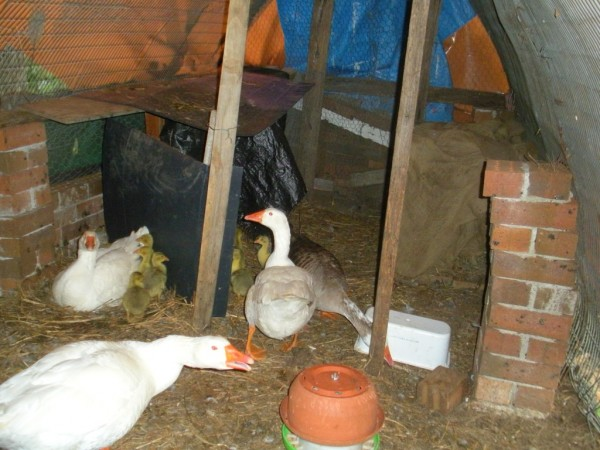 farmstay ducks